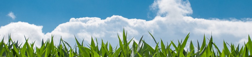 Rains should mean healthy Ontario corn crop
