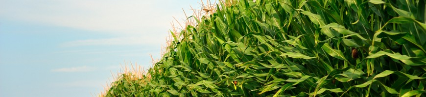 "WESTERN ONTARIO: Corn Producers ""Saved"" by Yields Despite Dry Summer"